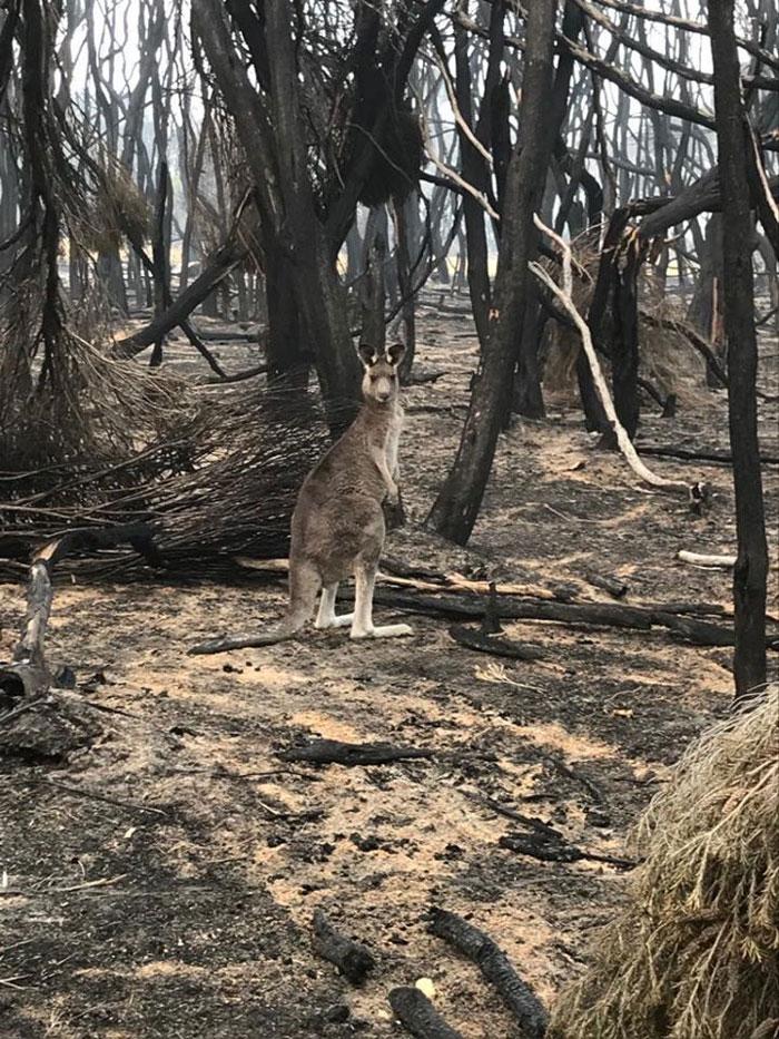 Zwierzęta, które przeżyły pożary w Australii, głodują. Gdyby nie ludzie, umarłyby