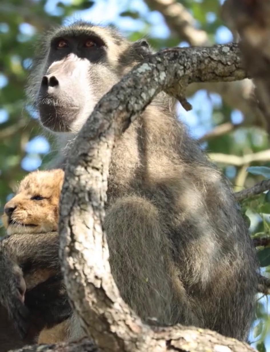 Pawian ukradł lwiątko. Wszystkim zaparło dech w piersi, gdy wskoczył z nim na drzewo
