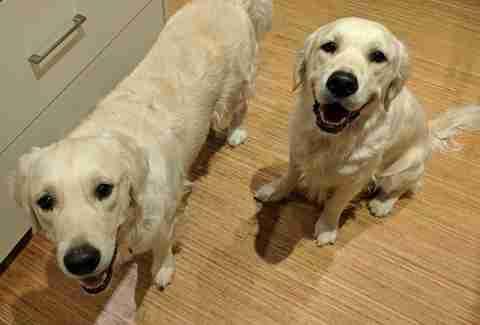 Psy pomogły 15-miesięcznej dziewczynce wyjść z jej pokoiku. Miały w głowach niecny plan