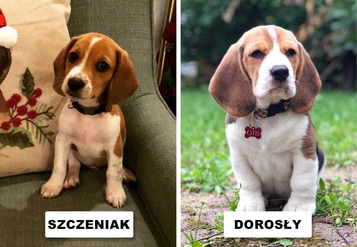 15 ras psów, które nawet kiedy dorosną, wyglądają jak urocze szczeniaczki