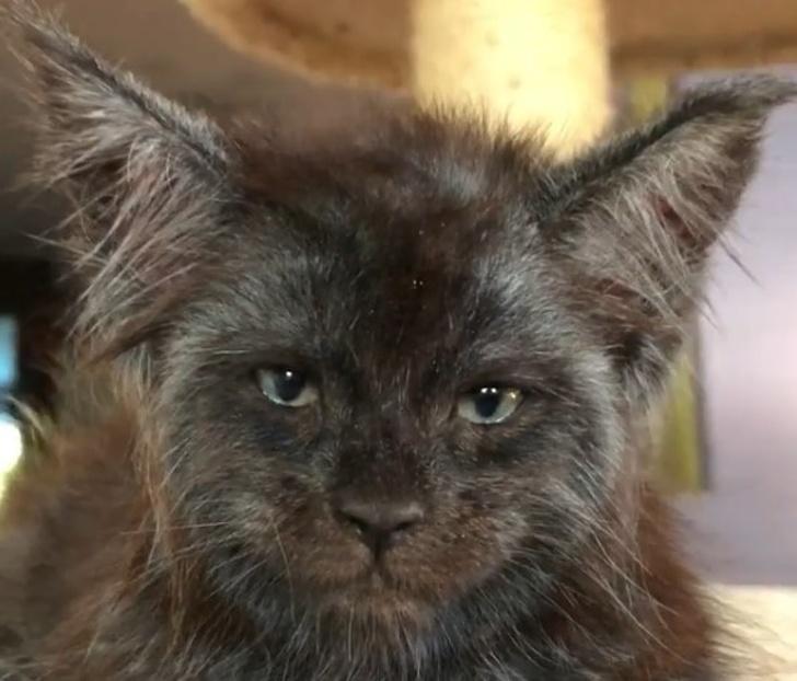 Od lat hoduje koty rasy Maine Coon, które posiadają ludzką twarz
