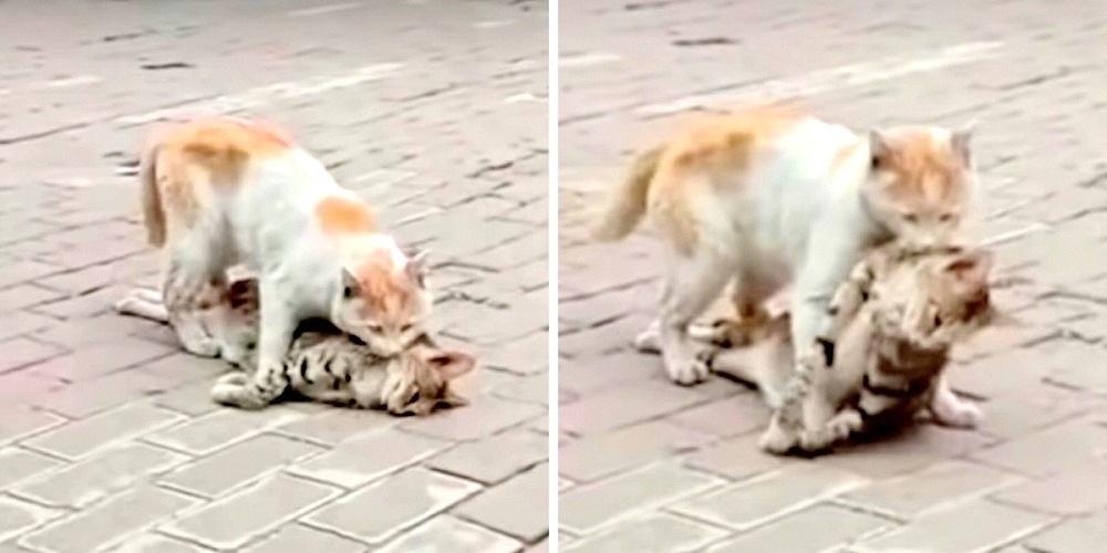 Wykończony kot dźwiga ciało swojego martwego przyjaciela. Ledwo daje radę