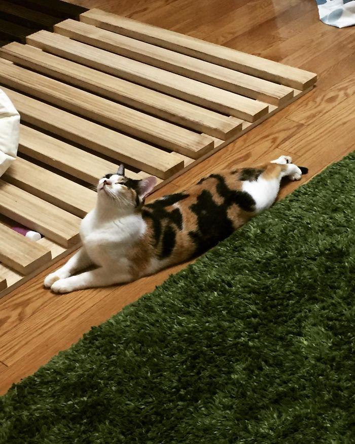 30 długich kotów, które zdają się nie mieć końca. Niektóre osiągają wysokość człowieka!