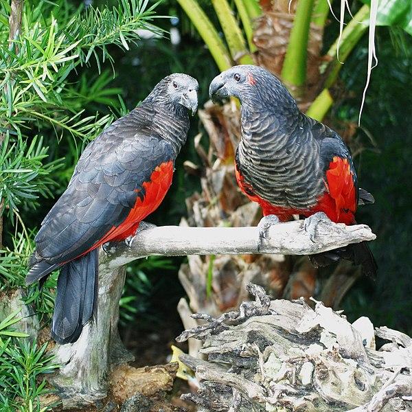 Poznaj papugę Draculę. Nie bez powodu otrzymała właśnie taki przydomek