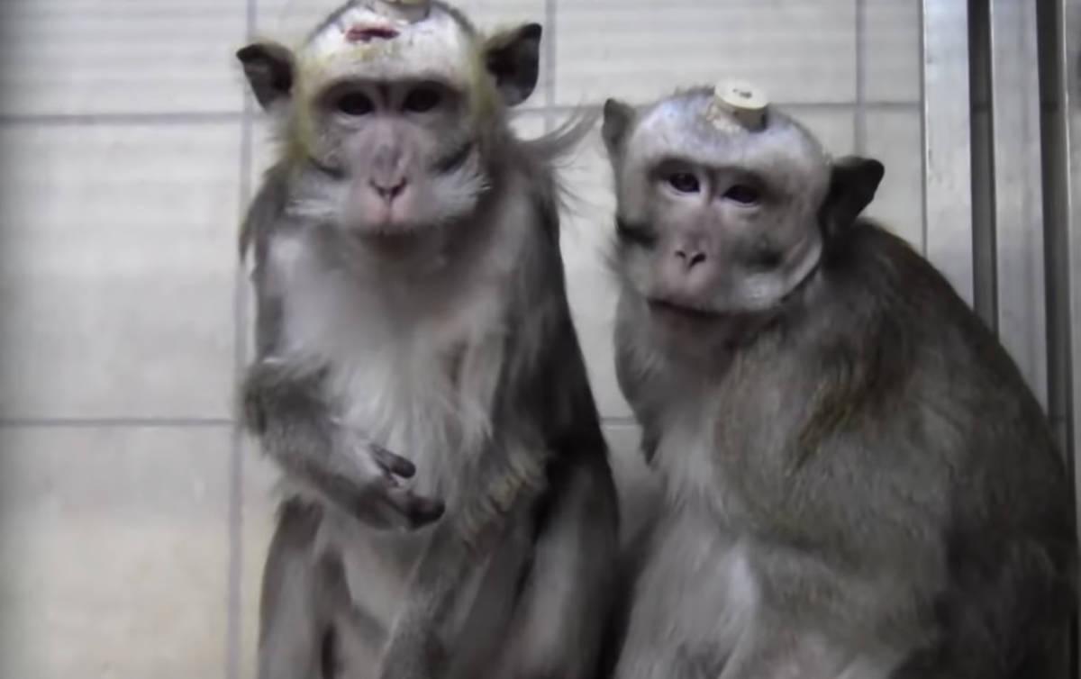 Przerażające eksperymenty na odsłoniętych mózgach małp. Sam widok sprawia ból