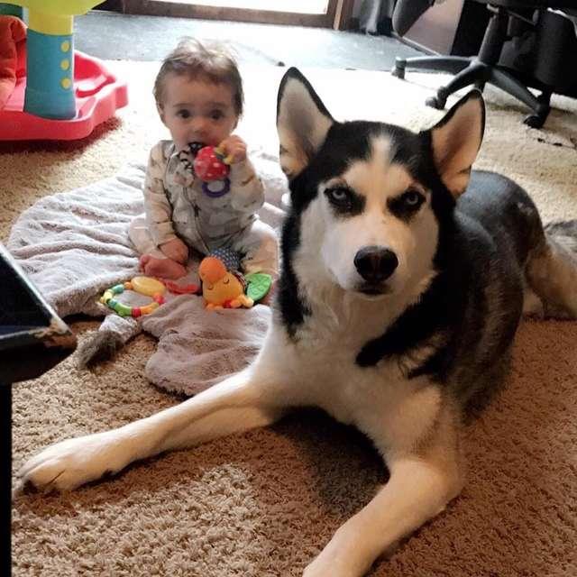 Husky nauczył dwulatka mowić! Rodzice chłopca płaczą ze śmiechu, gdy słyszą synka