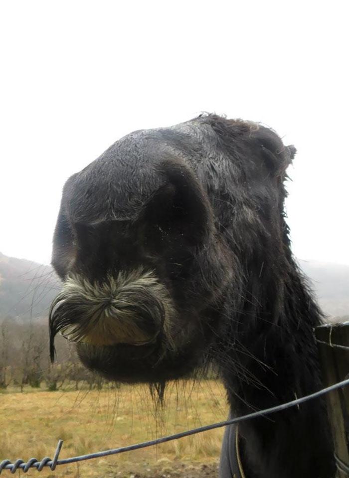 Koń z wąsem