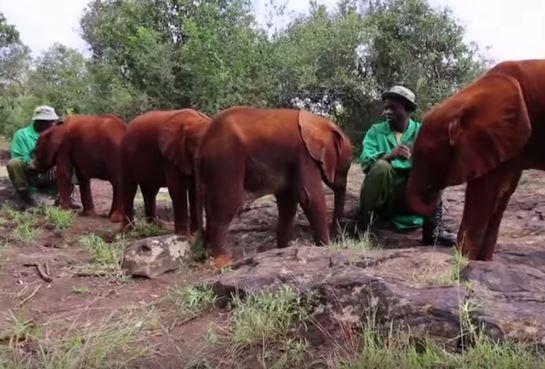 Bezbronny słonik próbował schronić się w szkole. Mieszkańcy gonili go w włóczniami i kamieniami