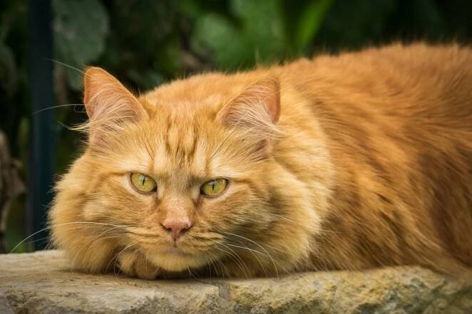 Maine Coon rudy