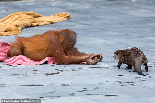 Zdjęcia z belgijskiego zoo obiegły Internet. Niezwykła relacja orangutanów z wydrami