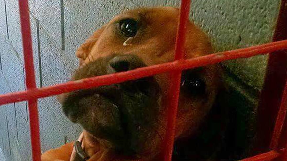 Biedna psinka ze łzami w oczach czeka na adopcję. Każda jedna noc to dla niej horror