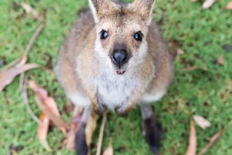 Zwierzęta Australii