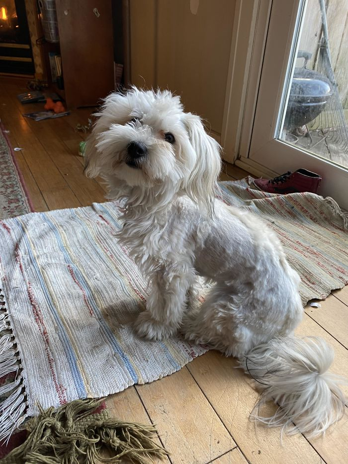 30 zdjęć psiaków, których właściciele próbowali zabawić się we fryzjera