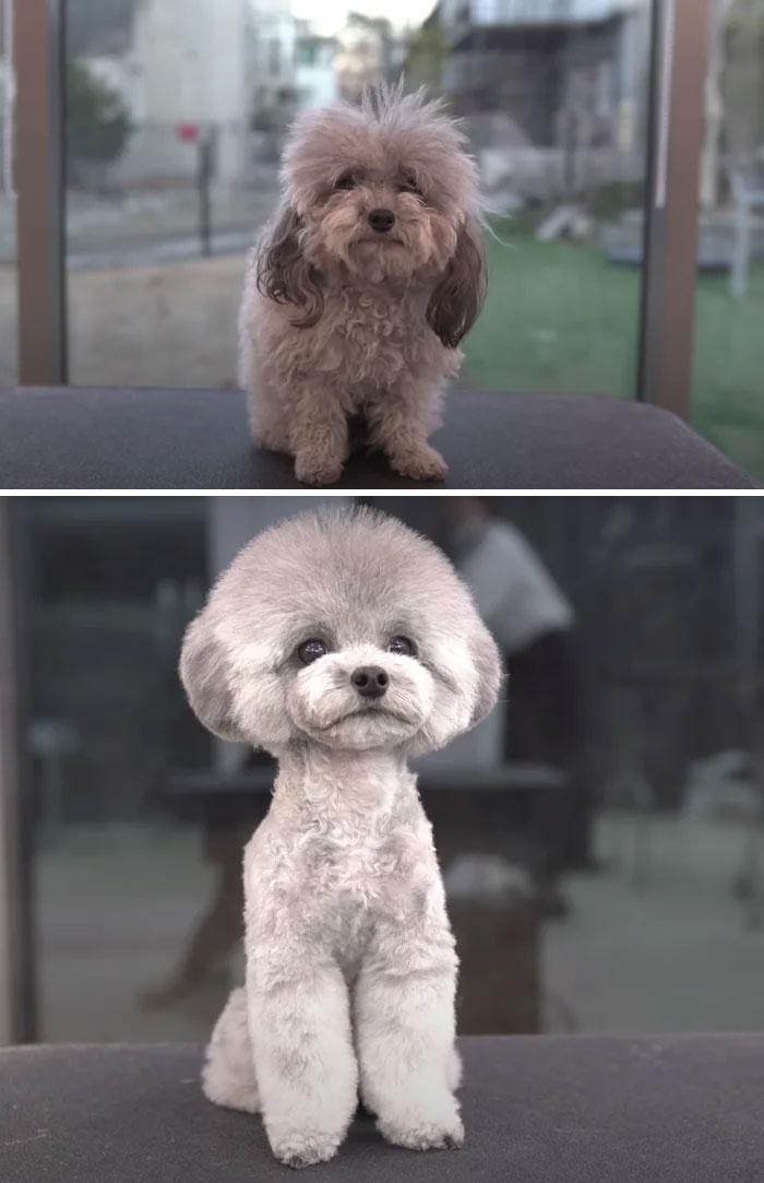 31 zdjęć psów przed i po wizycie u fryzjera. Są nie do poznania!
