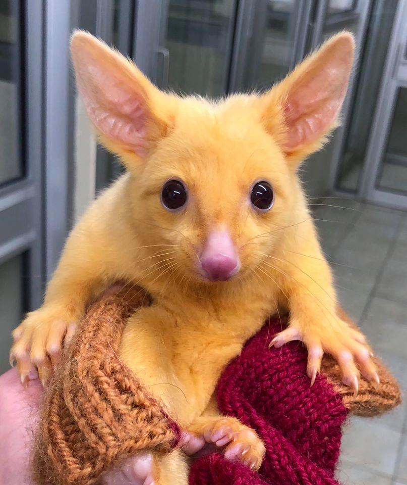 Do kliniki trafił niezwykły, złoty zwierzak. Jego wygląd ściągał na niego niebezpieczeństwo