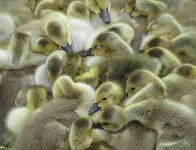 Kiedy wydaje się, że dwójka dzieci to dużo, to poznaj tę kaczkę. Ma pod swoją opieką 47 malców