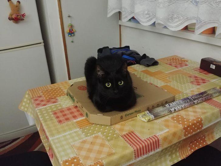 kot na pudełku pizzy