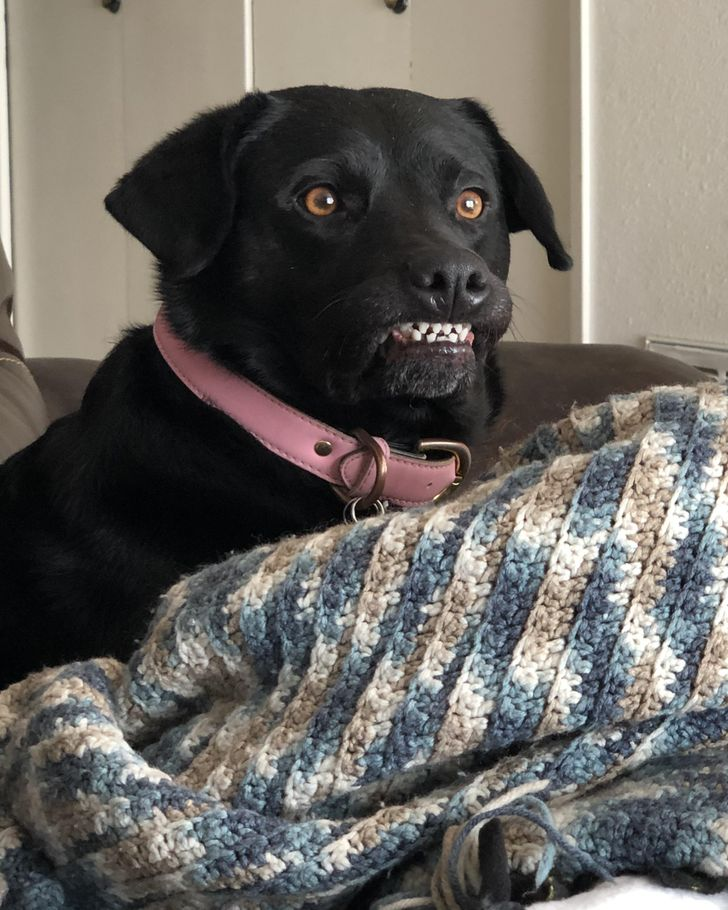 pies pokazuje zęby
