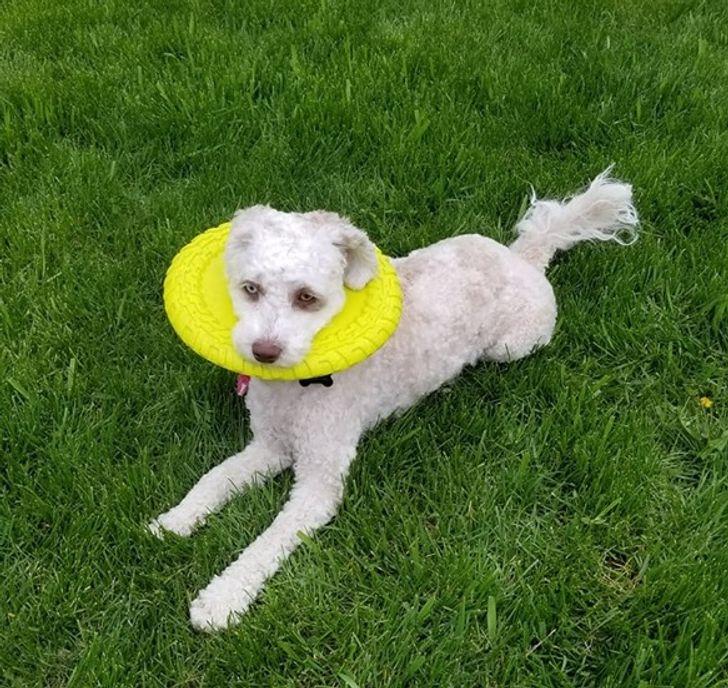 pies z frisbee na głowie