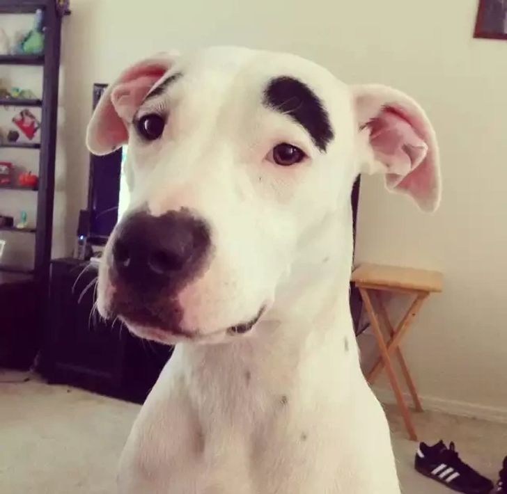 pies z brwiami