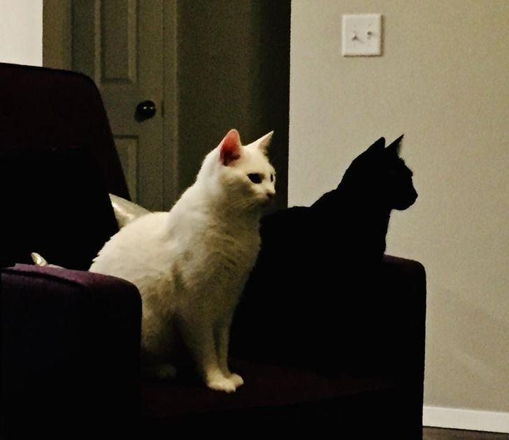 czarny i biały kot