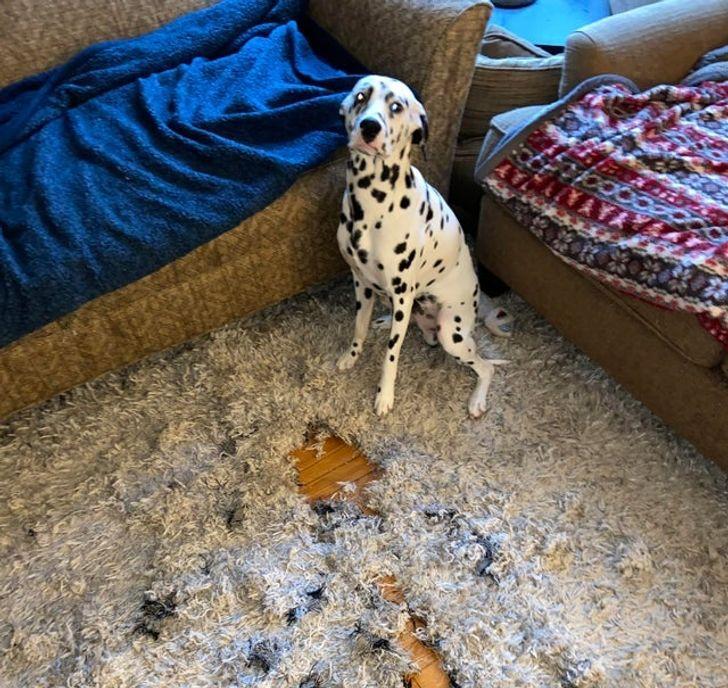 pies zniszczył dywan