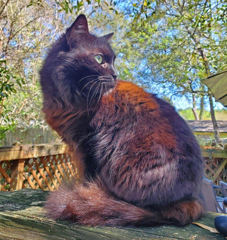 rudo czarny kot