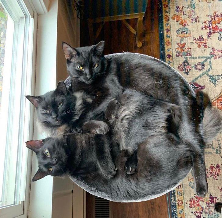 trzy czarne koty
