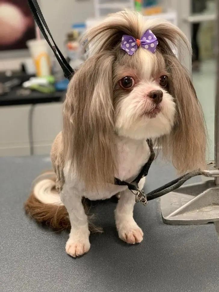 pies z kokardą