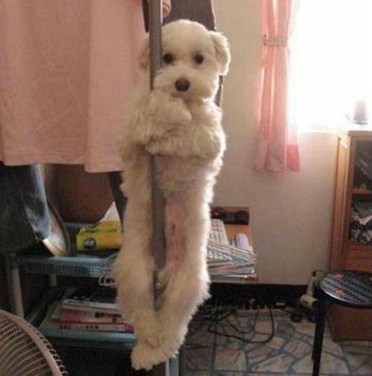 pies na drążku