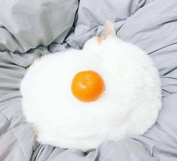 kot wygląda jak jajko