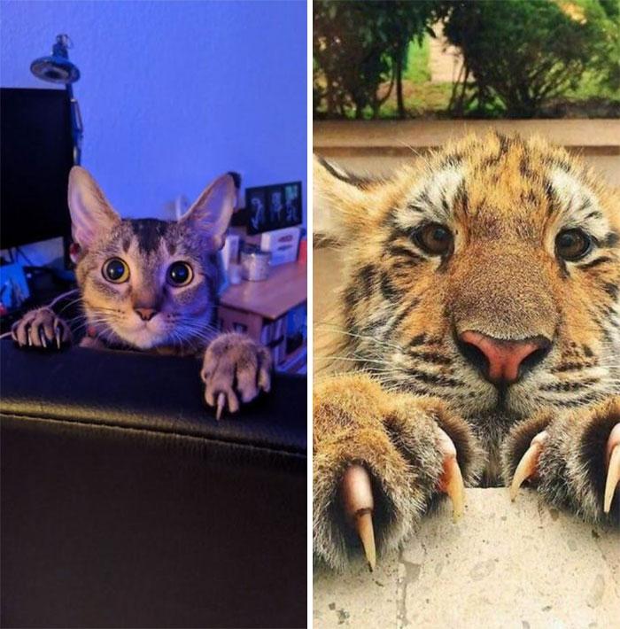 kot i tygrys