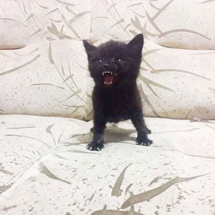 zły kotek