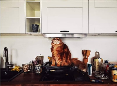 kot na kuchence