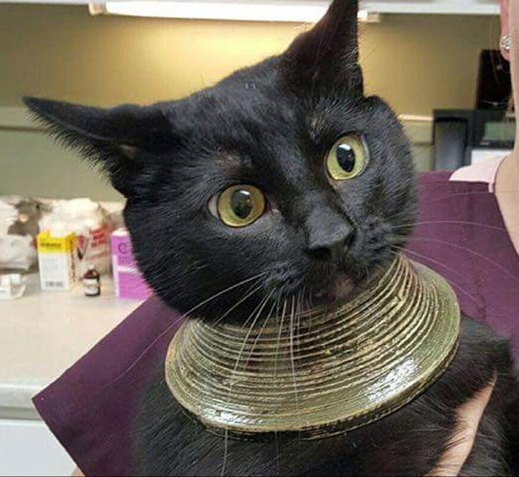 kot z obręczami na szyi