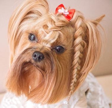 pies z warkoczem