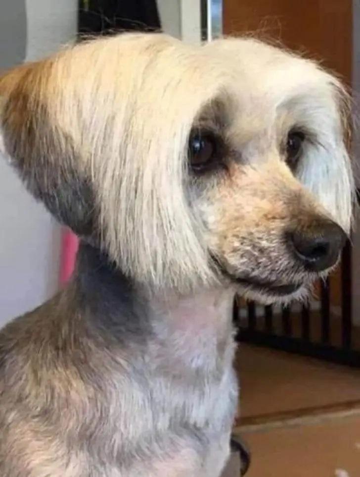 pies z fryzurą