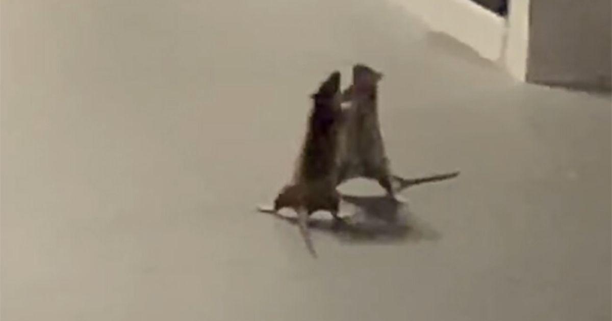 szczury walczą