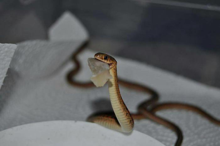 wąż z czymś w pysku