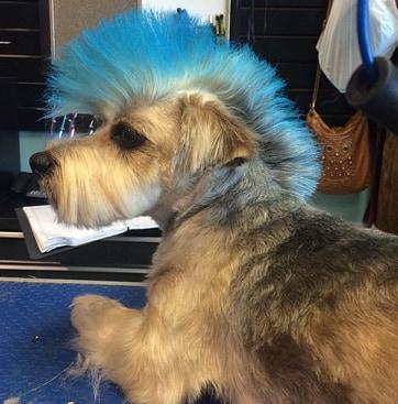 pies z irokezem