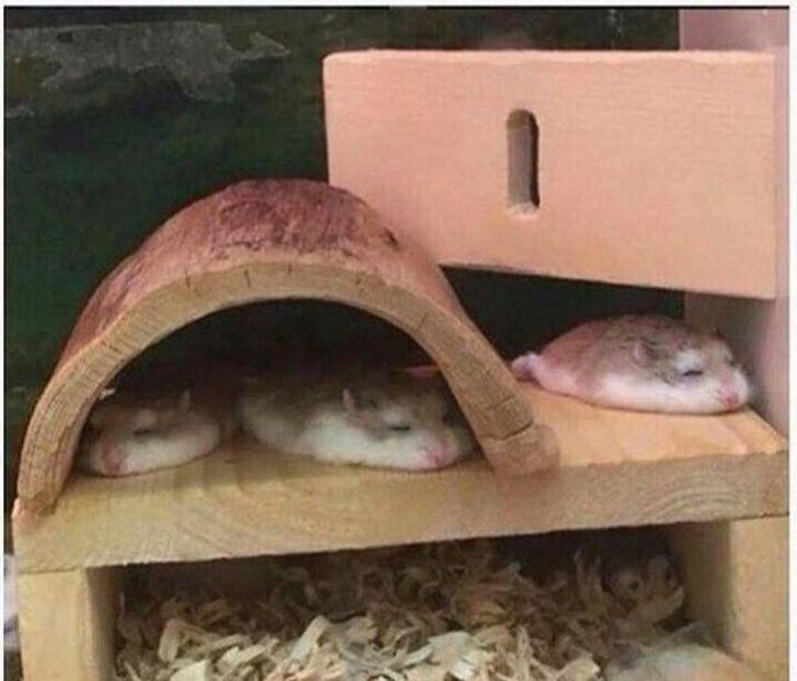 śpiące chomiki
