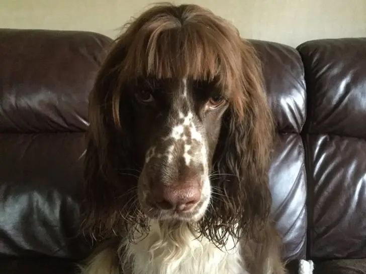 pies z grzywką