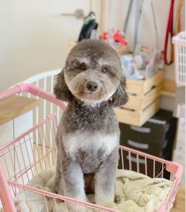 pies z okrągłą fryzurą