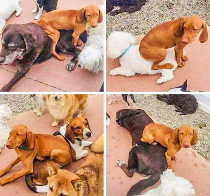 pies siada na innych psach