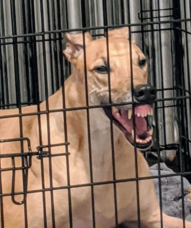 wyszczerzony pies
