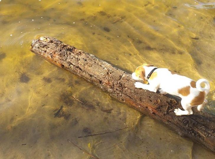 pies wchodzi do wody