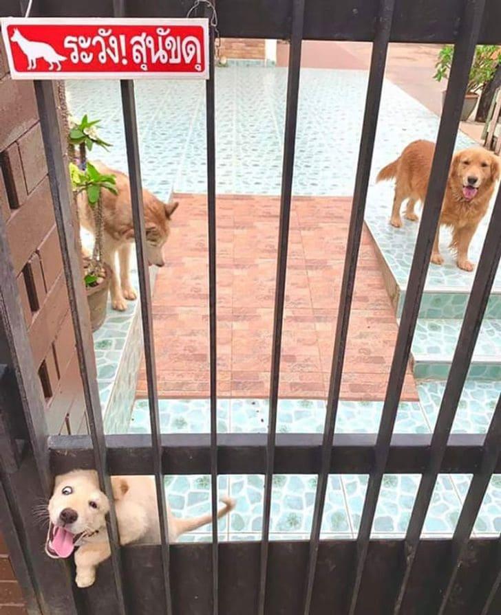 pies za ogrodzeniem