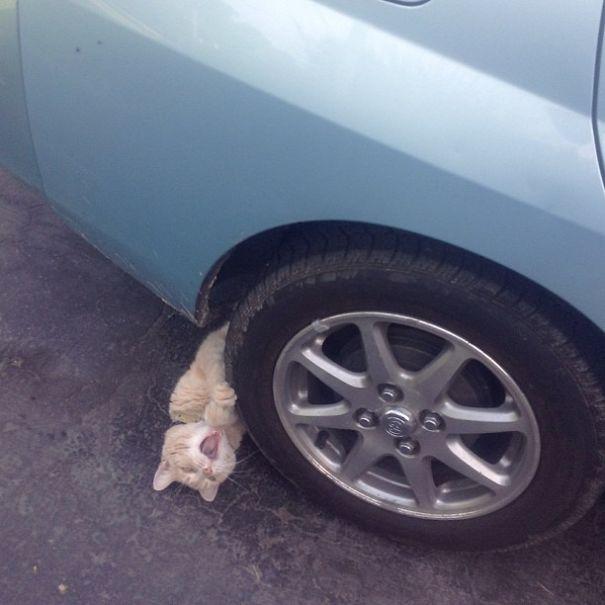 kot pod autem