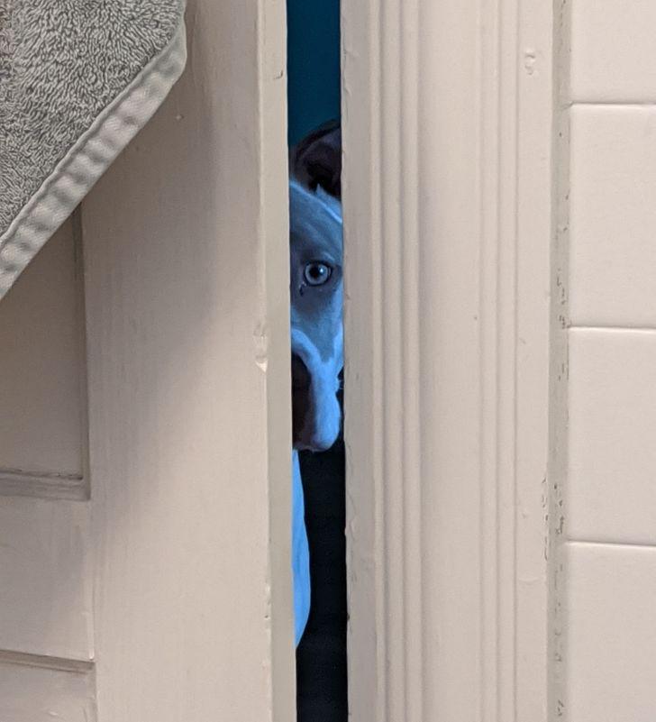 obserwujący pies