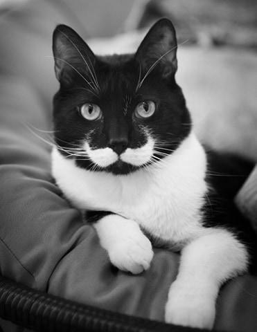 biało czarny kot